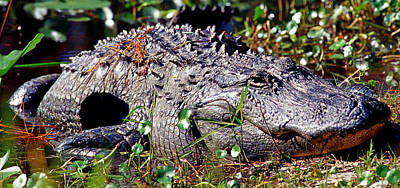 Photograph - American Alligator Alligator by Millard H. Sharp