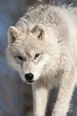 Animals Royalty-Free and Rights-Managed Images - Arctic Wolf Pup by Wolves Only