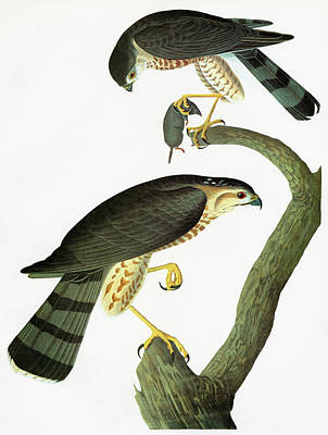Shins Painting - Audubon Hawk by Granger