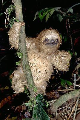 Baby Three-toed Sloth Art Print