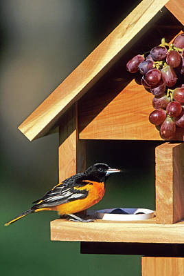 Baltimore Orioles Photograph - Baltimore Oriole (icterus Galbula by Richard and Susan Day