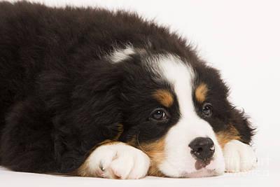 Sleepy Head Photograph - Bernese Mountain Dog by Jean-Michel Labat