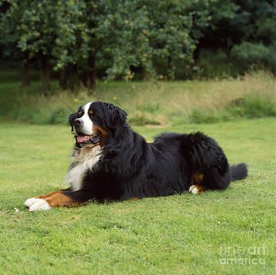 Berner Photograph - Bernese Mountain Dog by John Daniels