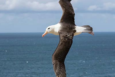 Albatross Wall Art - Photograph - Black-browed Albatross (thalassarche by Martin Zwick