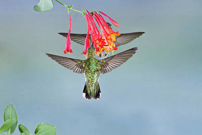 Black Chin Photograph - Black-chinned Hummingbird (archilochus by Larry Ditto