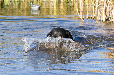 Water Retrieve Photograph - Black Labrador Retriever by William H. Mullins