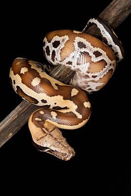 Python Photograph - Blood Python Python Brongersmai by David Kenny
