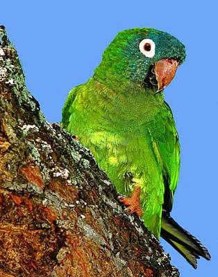 Photograph - Blue Crowned Parakeet by Ira Runyan