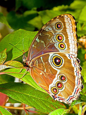 Photograph - Blue Morpho Butterfly by Millard H Sharp