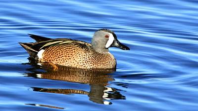 Photograph - Blue Winged Teal by Ira Runyan