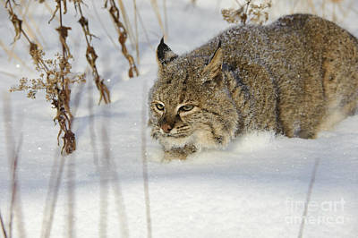 Bobcat Art Print by John Shaw