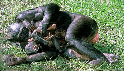 Photograph - Bonobo Pan Paniscus Mother And Infant by Millard H. Sharp
