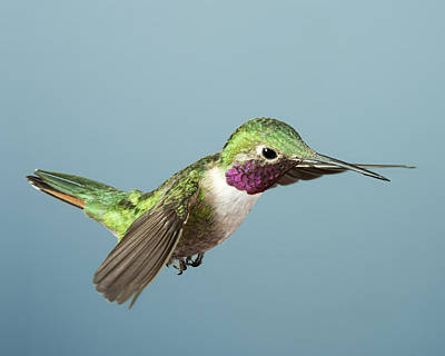 Broad Tail Photograph - Broadtail Hummingbird by Gregory Scott