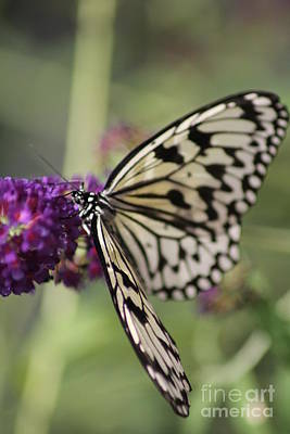 Butterfly Art Print by Diane Greco-Lesser