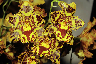 Cambria Photograph - Cambria Orchid Flowers by M F Merlet/science Photo Library