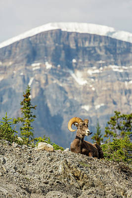 Mountain Sheep Photograph - Canada, Alberta, Jasper National Park by Jamie and Judy Wild