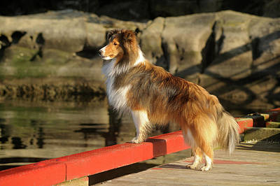 Sheltie Photograph - Canada, British Columbia, Gulf Islands by Kevin Oke