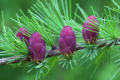 Tamarack Photograph - Canada, Quebec, Mount St by Jaynes Gallery