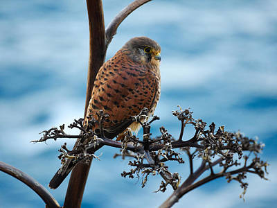 Jouko Lehto Royalty-Free and Rights-Managed Images - Canarian Kestrel by Jouko Lehto