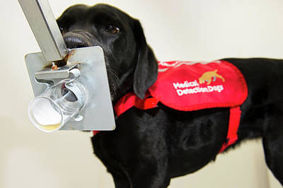 Working Dogs Photograph - Cancer Detection Dog Training by Louise Murray