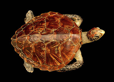 Chelonia Mydas Print by Natural History Museum, London