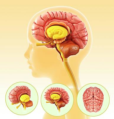 Child's Brain Anatomy Art Print by Pixologicstudio/science Photo Library