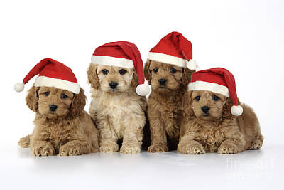 Puppy Christmas Photograph - Cockapoo Puppy Dogs by John Daniels