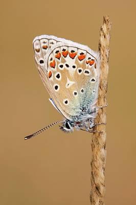 Common Blue Butterfly Art Print by Heath Mcdonald