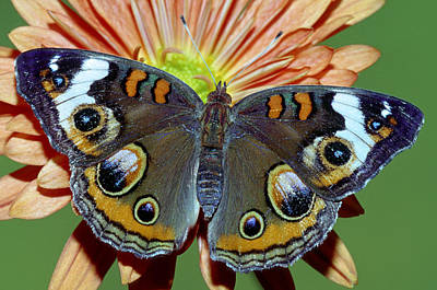 Photograph - Common Buckeye by Millard H. Sharp