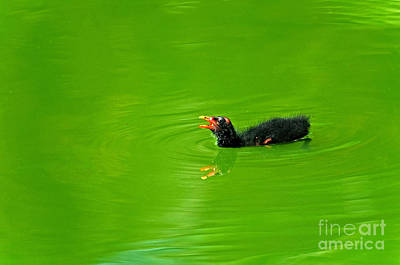 Moorhen Photograph - Common Moorhen Chick by Mark Newman