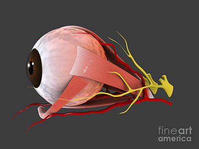 Crystalline Digital Art - Conceptual Image Of Human Eye Anatomy by Stocktrek Images