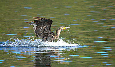 Animal Portraits - Cormorant Water Landing by Roy Williams