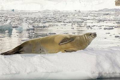 Haul Photograph - Crabeater Seal by Ashley Cooper