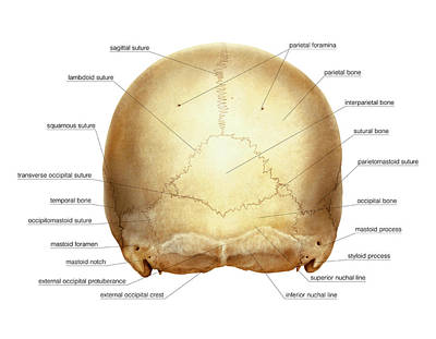 Cranium Art Print by Asklepios Medical Atlas