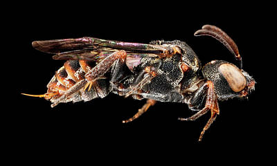 Cuckoo Photograph - Cuckoo Bee by Us Geological Survey