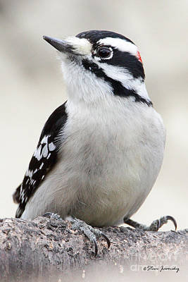 Photograph - Downy Woodpecker by Steve Javorsky