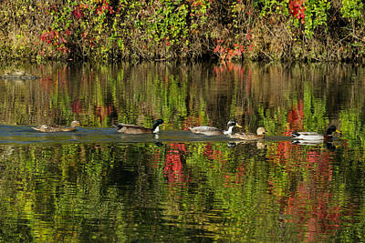 Photograph - Ducks by David Lester