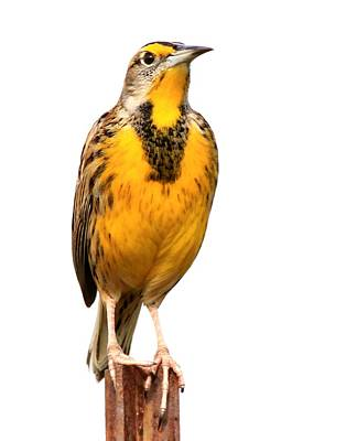 Photograph - Eastern Meadowlark by Ira Runyan