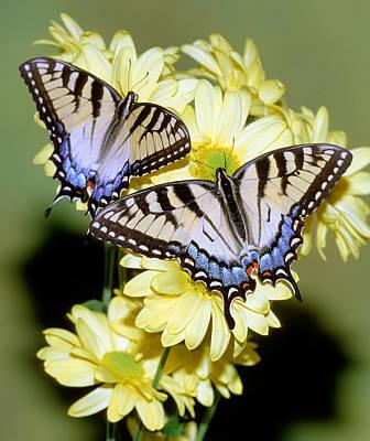 Photograph - Eastern Tiger Swallowtail Butterflies by Millard H. Sharp