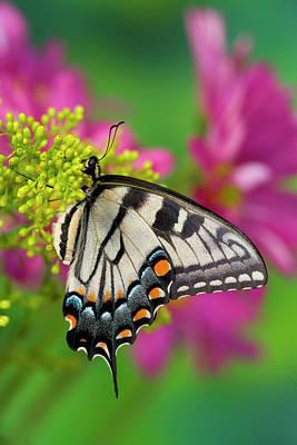 Blue Swallowtail Photograph - Eastern Tiger Swallowtail Papilio by Darrell Gulin