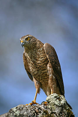 Sparrowhawk Photograph - Epervier Deurope Accipiter Nisus by Gerard Lacz