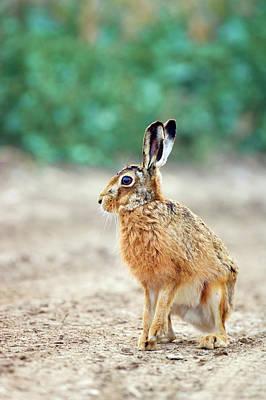 European Hare Wall Art - Photograph - European Hare by John Devries/science Photo Library
