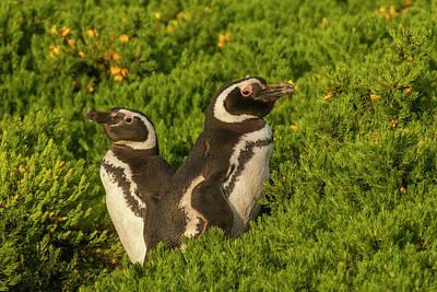 Carcass Photograph - Falkland Islands, Carcass Island by Jaynes Gallery