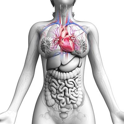 Female Anatomy Art Print