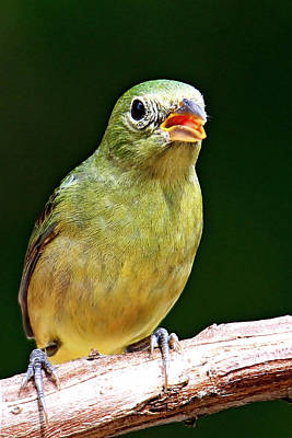 Photograph - Female Painted Bunting by Ira Runyan