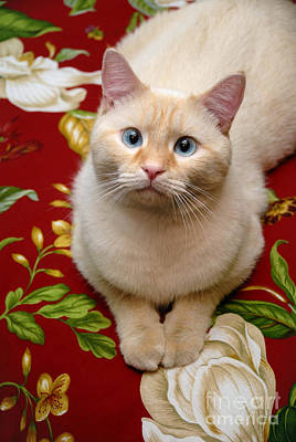 White Cat Photograph - Flame Point Siamese Cat by Amy Cicconi