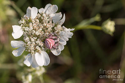 Fine Dining - Flower Crab Spider by Jivko Nakev