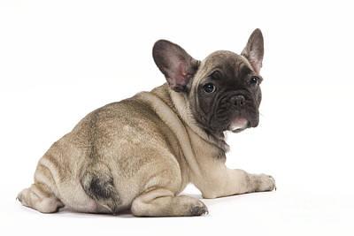 Cute French Bulldog Photograph - French Bulldog Puppy by Jean-Michel Labat
