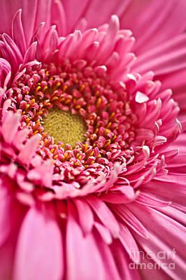 Gerbera Photograph - Gerbera Flower by Elena Elisseeva