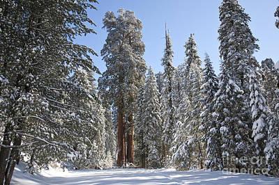 Giant Sequoias Art Print